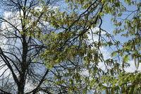 Carpinus betulus, Hornbeam