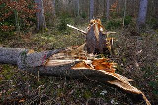 Sturmschaden im Fichtenwald durch Orkan Sabine