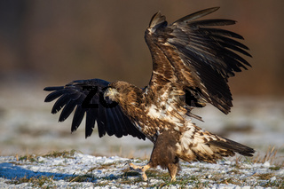 Young white-tailed eagle landing on meadow in winter.