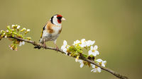 European goldfinch male perched on twig with flourishing flowers in spring