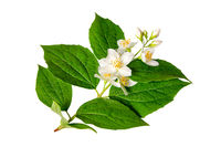 Beautiful jasmine flowers branch isolated on white background closeup. Top view. Copy space