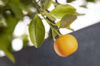 Reife Orange an einem Orangenbäumchen