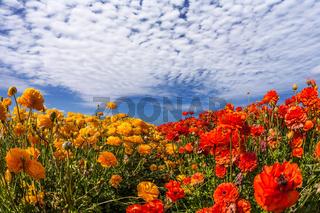 The fields of garden buttercups