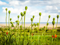 Poppy capsulas in spring on lake neusiedlersee