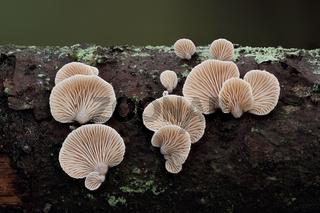 Milder Muschelseitling (Panellus mitis)