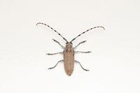 Dorsal of Long horn beetle, Batocera rufomaculata, Pune, Maharashtra, India