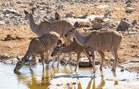kudu_afrika_04.jpg
