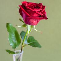 natural red rose flower on olive color background