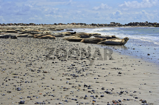 Common seals  and gray seals on the beach of Helgoland, North Sea, Northern Germany