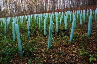 Forstwirtschaft, Wiederaufforstung nach Baumfällung
