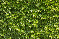 The beautiful soothing background of fresh creeping ivy