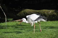 stork on meadow