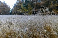 Herbstlandschaft im Raureif mit Laerchen am Rand eines Moores / Autumn landscape in hoarfrost with larch trees at the edge of a bog / Christinenthal  -  Schleswig-Holstein
