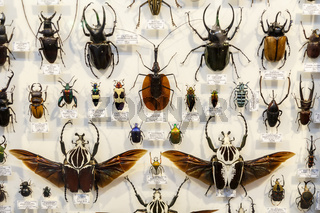 Moscow, Russia - March 12, 2019: Collection of dried natural insects in the Apothecary garden. Set of pin insect in biology museum. Zoology background