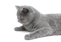 gray cat close-up on white background. horizontal photo.
