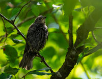 Wet starling bird sitting on a twig