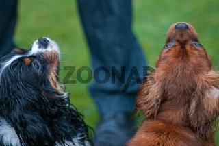 Two Cavalier King Charles Spaniel dogs