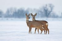 Young roe deer in cold winter interacting