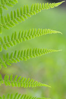 Texture of green fern in the forest