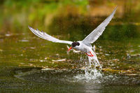 Common tern catching a fish in water in springtime.