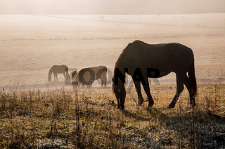 Horses and foals graze at dawn in the meadow. Natural habitat of wild animals. Dawn of the pasture in the fog. Sunny pasture dawn. Horse reserve.