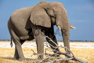 Elephant at Etosha National Park, Namibia