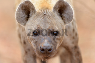 Hyena in the wilderness