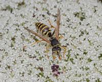 European paper wasp  'Polistes dominulus'