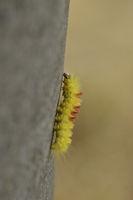 Caterpillar of Acronicta aceris