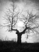 Black and white tree in a vineyard in burgenland