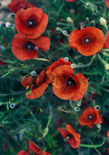 flowers of poppy bush