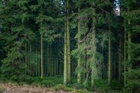 The mysterious depth of the pines forest.