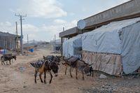 working donkey, Afar triangle region, Ethiopia