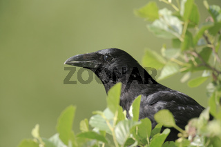 Rabenkrähe, Corvus corone, carrion crow,