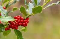Holly branch with red berries