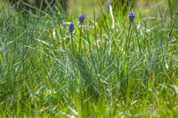 Grape hyacinth on meadow