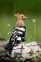 Young Eurasian hoopoe sitting on tree trunk in summer.