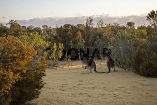Red Kangaroo Family feeding at the bush in twilight – Western Australia