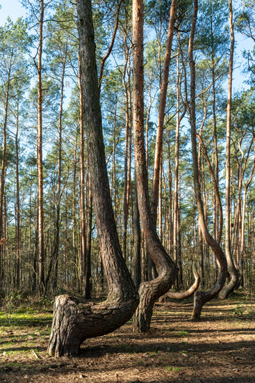 Crooked tree trunks at the crooked forest Krzywy Las near Gryfino in Poland