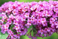 butterfly bush (Buddleja davidii)