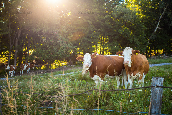 Spotted cows looking on green meadow in summer sunlight.