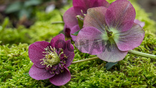 Natural purple helleborus flowers