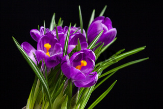 crocus bouquet on black