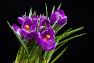 crocus bouquet on black
