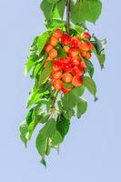 Long branch of white rainier cherry