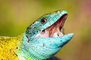 Male of european green lizard with open mouth hunting in nature