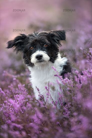 Chinese crested dog in heather landscape