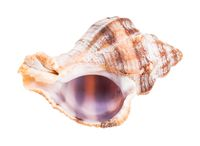 empty shell of whelk snail isolated on white
