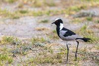 Blacksmith lapwing bird, Etosha Namibia Africa