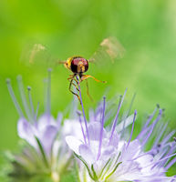 Hoverfly hovering at a flower blossom